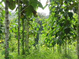 Teakbaum im tropischen regenwald  Teakholz-Investments: Klimaschutz mit guter Rendite